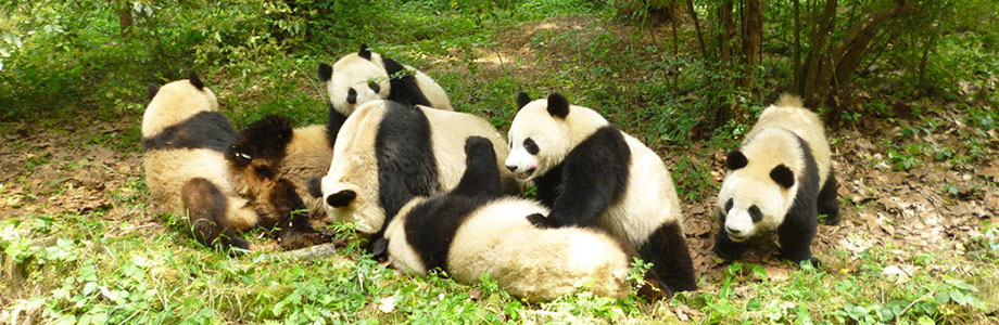 Giant Panda Disovery